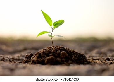 Seedlings are growing from arid soil with morning sun is shining, concept of global warming.