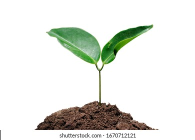 Seedlings are growing from fertile soil with a clean white background.