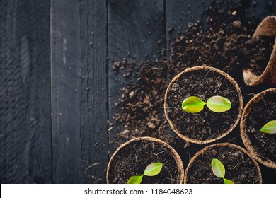 The seedlings are growing in natural coconut fiber pots placed on a black wood floor.