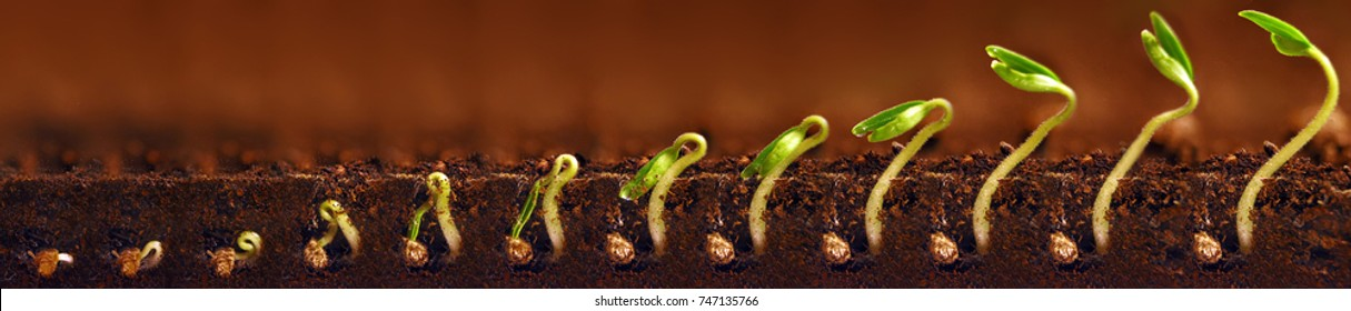 Seedlings growing. Plants grow stages. Seedlings growth periods.