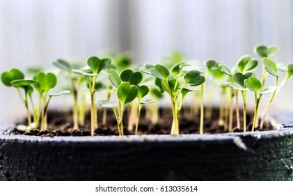 Seedlings of lettuce in cultivation tray.