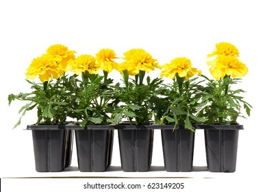 Seedlings of marigolds in plastic cassettes on a white background