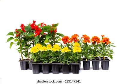 Seedlings of marigolds and salvia in plastic cassettes on a white background
