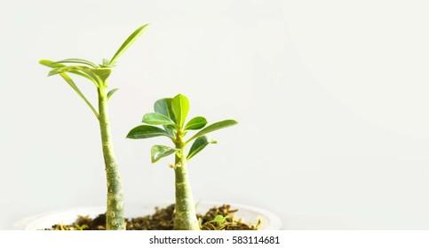 Seedlings of Mock Azalea, young plant with isolated on white background