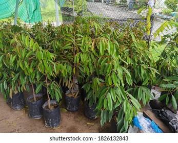 Seedlings of Musang King Durians variety growing in traditional nursery.