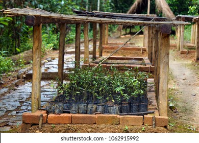 Seedlings of native rain forest trees ready to be planted back into their natural environment. A community effort aimed at reforestation of the lost natural wildlife habitat in Eastern Madagascar.