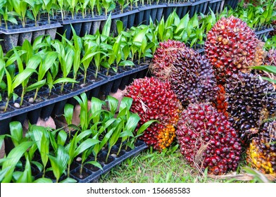 Seedlings of oil palm . For agriculture in tropical areas of Thailand .