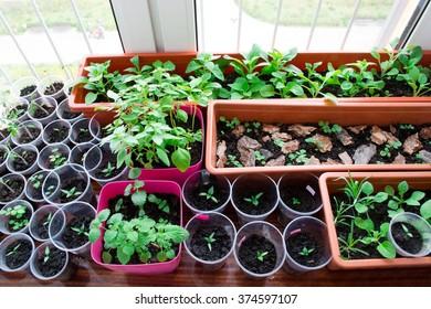 Seedlings on a windowsill