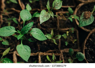 seedlings in peat pots.Baby plants seeding, black hole trays for agricultural seedlings.The spring planting. Early seedling , grown from seeds in boxes at home on the windowsill. Gardening concept