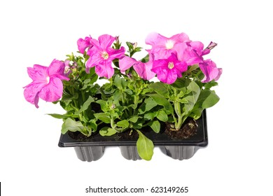 Seedlings of Petunia in plastic cassettes on a white background
