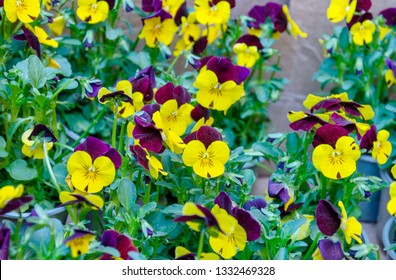 seedlings in pots with flowers of violet garden on the background of green leaves, closeup