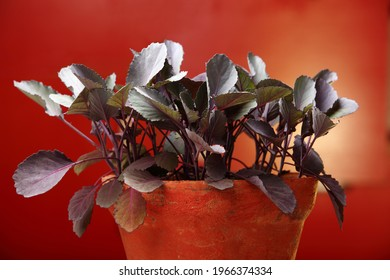 Seedlings of Red cabbage (Brassica oleracea var. capitata f. rubra) is a sort of cabbage, also known as purple cabbage, red kraut, or blue kraut in kitchen garden.