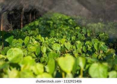 Seedlings for reforestation project in Biological Refuge Bela Vista, kept by Itaipu Binacional Hydroelectric Plant, Foz do Iguacu, Parana State, South Brazil