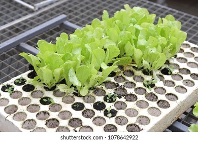 Seedlings of Salad in Polystyrene Holder for Hydroponics Gardening