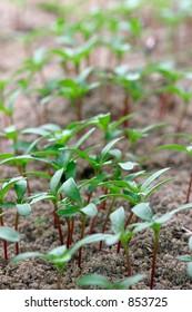 Seedlings, shallow DOF