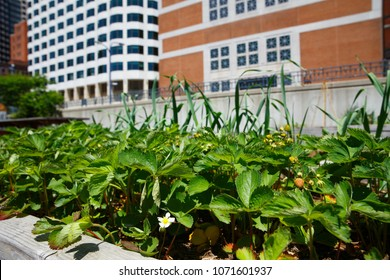 seedlings of strawberry in pots. bushes of strawberries in a pot on the balcony. The concept of urban gardening