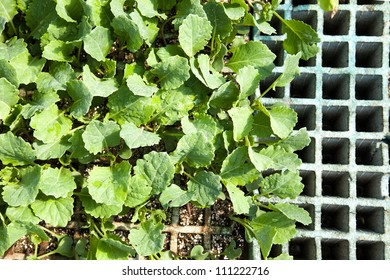 Seedlings for transplanting lettuce