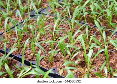 Seedlings for urban flower beds