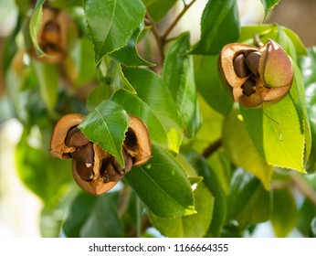 Seeds of camellia - Camellia japonica - in Japan.
