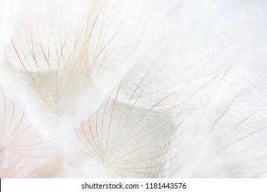 Seeds of damn beard flower (Tragopogon dubius).