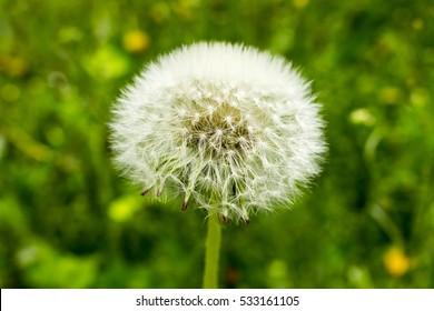 Seeds of dandelion save the form