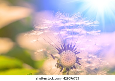 seeds of a dandelion in the summer close