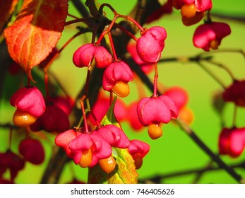 seeds of European spindle, Euonymus europaeus,