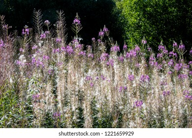 seeds of fireweed in sunlight