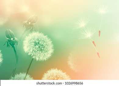Seeds. Fluffy dandelion flower against the background of the summer landscape.