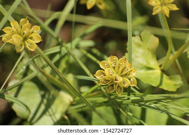 Seeds in follicles of Caltha palustris, the marsh-marigold.