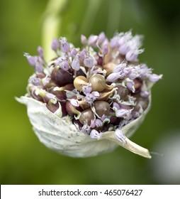 Seeds of garlic plant nature