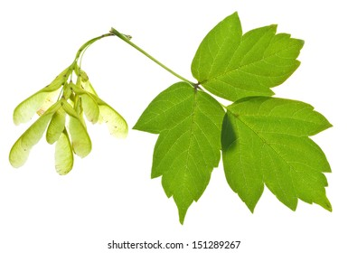 seeds and green leaves of ash tree isolated on white background