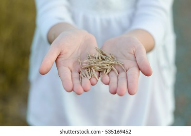 Seeds in the hands
