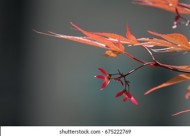 seeds of maple tree and leaves against darkness, vivid red