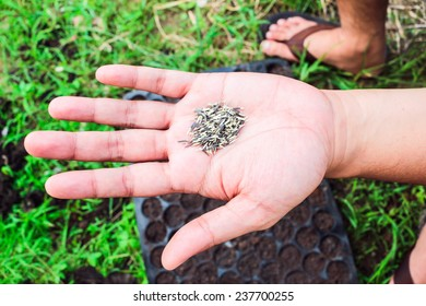 seeds marigold on hand to growing in plant garden farm
