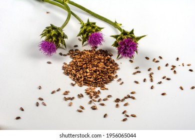 Seeds of a milk thistle with flowers (Silybum marianum, Scotch Thistle, Marian thistle ) Close-up on white background.herb milk thistle silybum marianum on white background