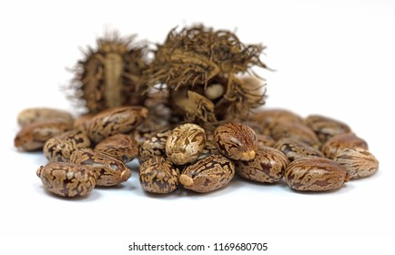 Seeds from the miraculous Tree, Ricinus communis