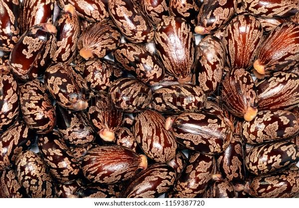 Seeds Ricinus Communis Castor Bean Castor Stock Photo Edit Now 1159387720