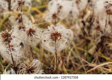 Seeds of Solitary clematis (Clematis integrifolia) with parachutes in an autumn meadow