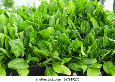 Seeds of spinach, beautiful plant for salads