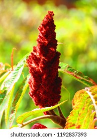 seeds of staghorn sumac, Rhus typhina,