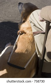 Seeing Eye Dog at Rest or on the job