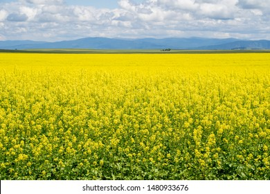 Seemingly endless field of yellow mustard plants in bloom in the Palouse region of Western Idaho