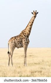 Seen during safari tour at Namibia, Africa.