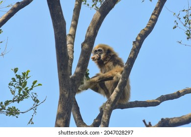 Seen eating and sitting on a bare big branch, White-handed Gibbon, Hylobates lar, Thailand