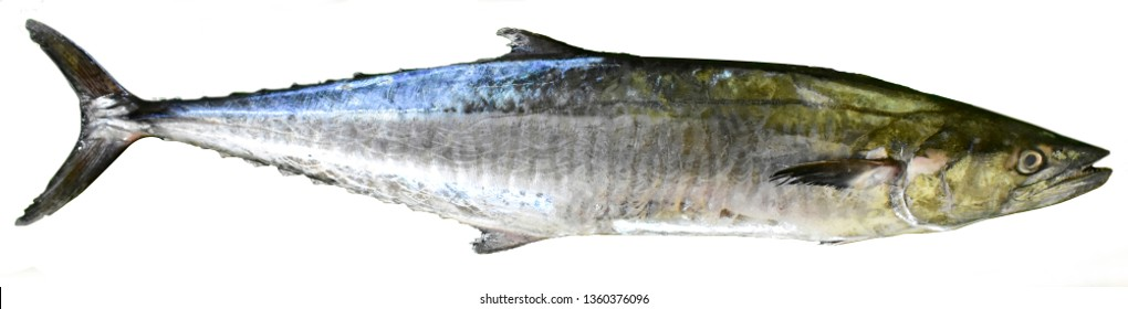 SEER FISH - INDO-PACIFIC KING MACKEREL OR  SPOTTED SEER FISH - Scientific Name: Scomberomorus guttatus