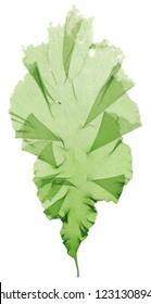 seeweed usuba aonori botanical specimen