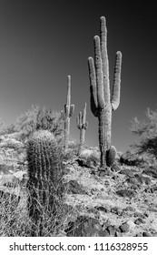 Seguaro in the Sonora Desert
