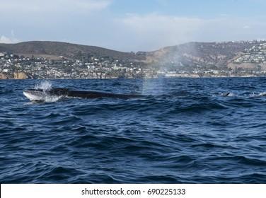 Sei Whale off Newport Beac