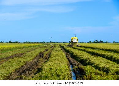Sekinchan, Selangor, Malaysia - June 2, 2019: workers use machines to harvest rice at paddy fields in Sekinchan, Malaysia. Agriculture and farming industry.